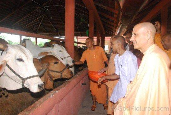 Radhanath Swami Ji Feeding Cows