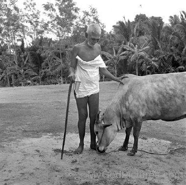 Ramana Maharshi Ji With Cow